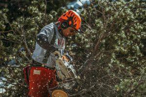 man sawing pine tree